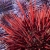 Red and Purple Urchins