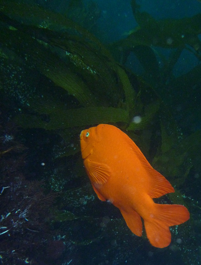 The garibaldi, California's state fish.