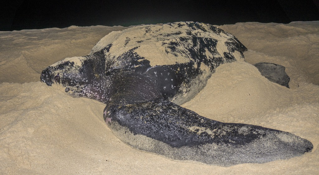 It doesn't get much more exciting than seeing a leatherback.