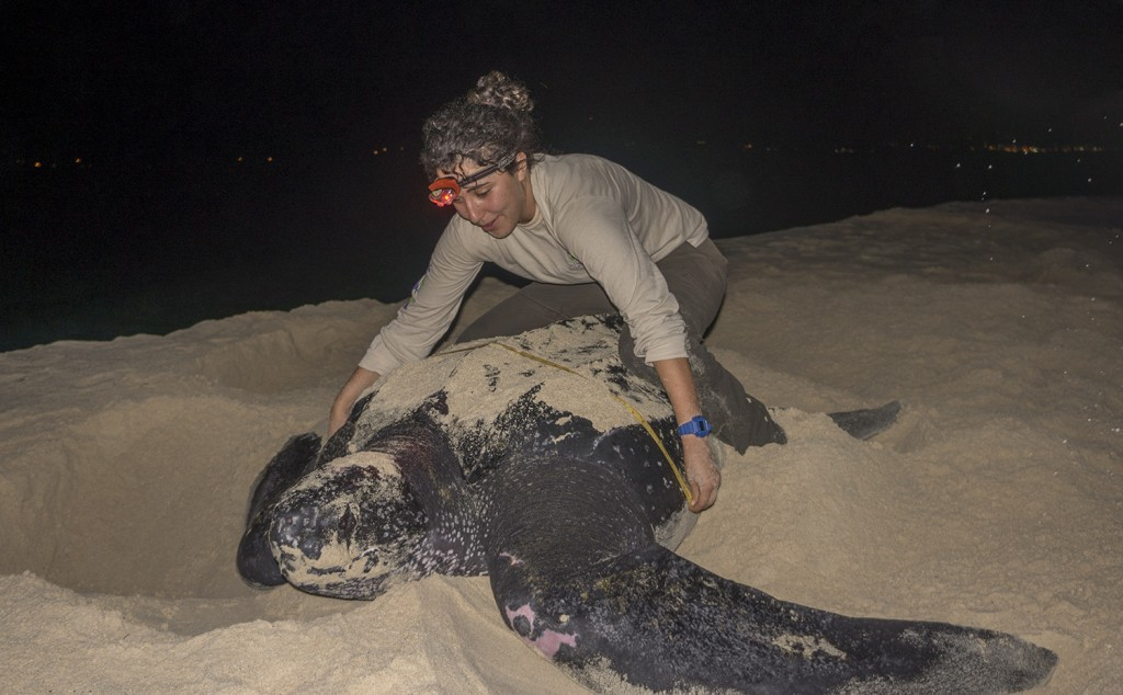 This leatherback is actually quite small. They can reach upwards of eight feet and 1,500 lbs.