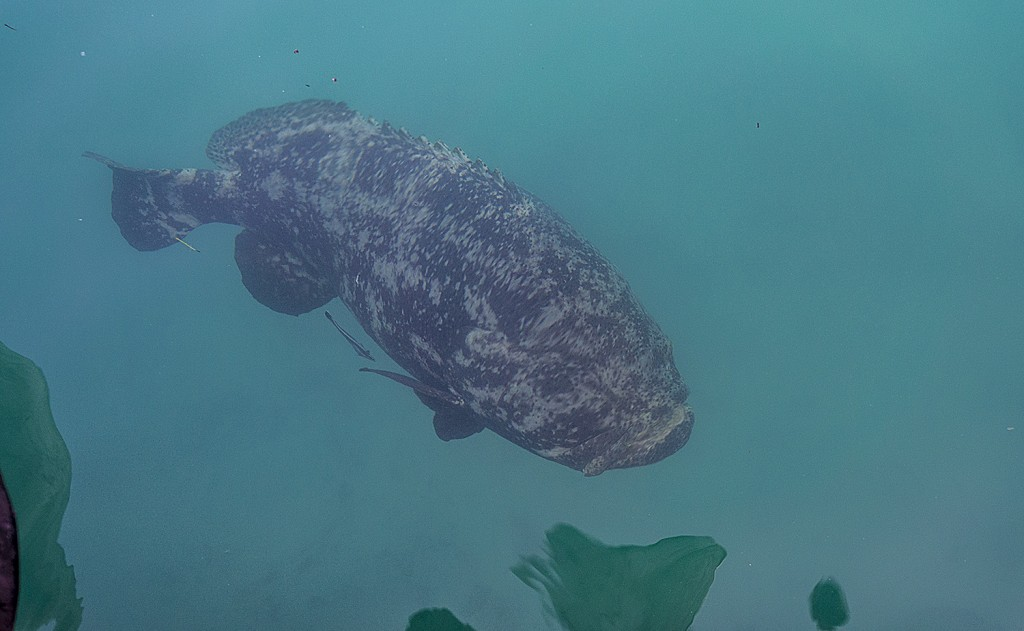 A goliath grouper moseys by the Garden Key dock.