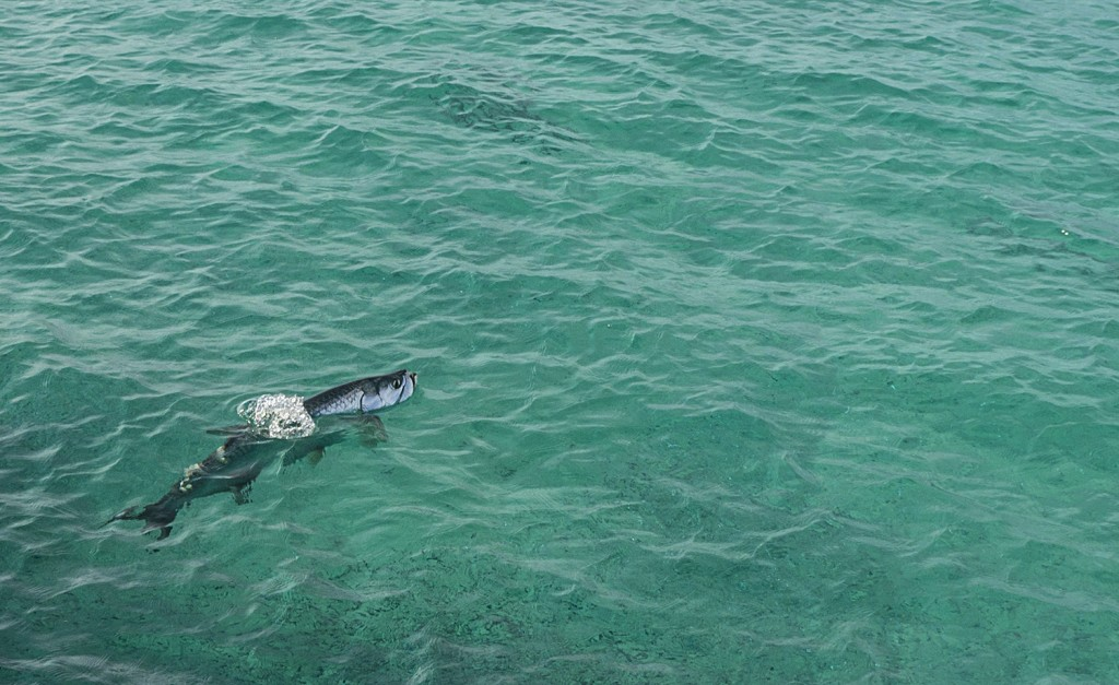 A tarpon surfaces by the Loggerhead dock.