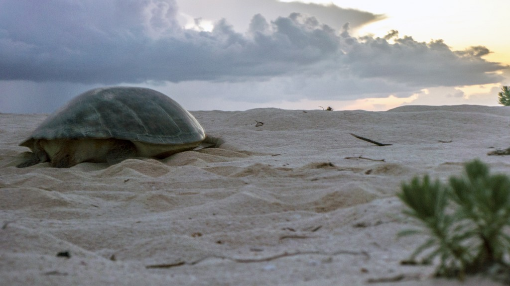 This green turtle nonchalantly crawled through our camp as we packed up to leave at sunrise.