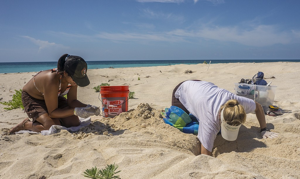 USGS biologist Kristin Hart excavates the loggerhead nest while Lee Qi sorts the nest contents.