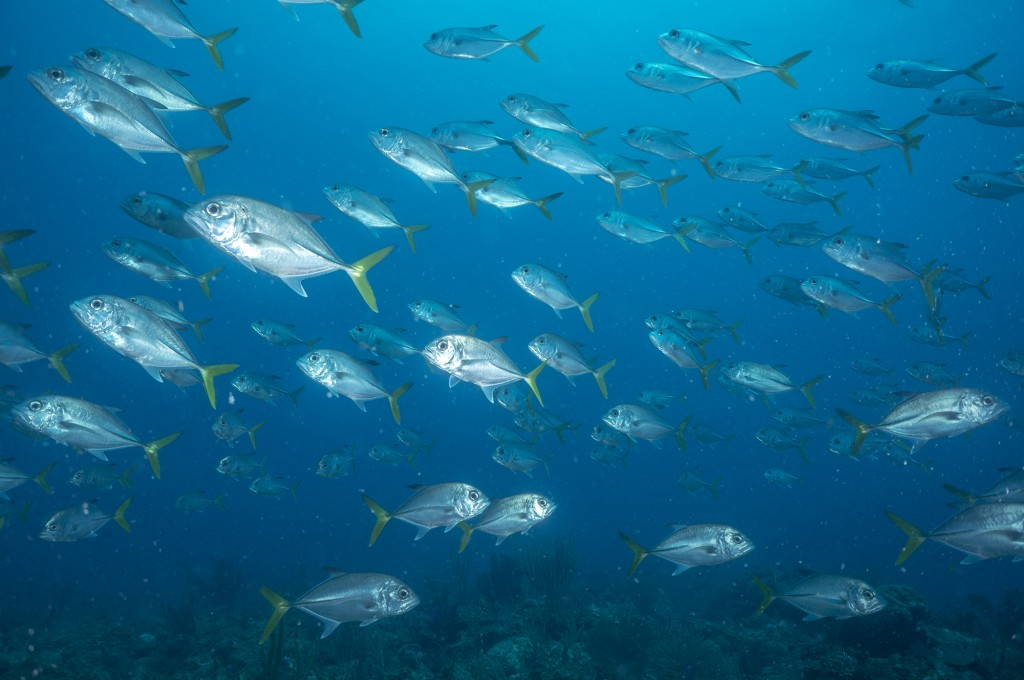A school of horse eye jacks passes over the mid shelf reef.