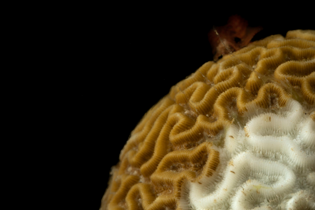 Close-up photo of a brain coral with a small white lesion from SCTLD