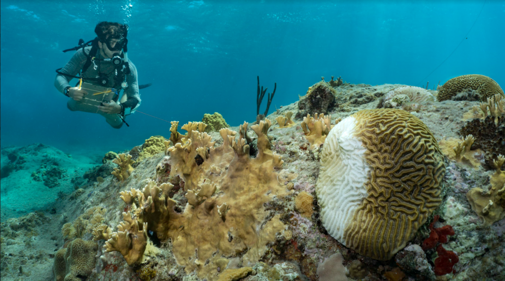 Scuba diver with SCTLD-infected coral in the foreground