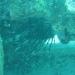 invasive Lionfish