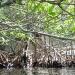 mangroves