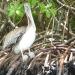 pelican in the mangroves