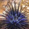 BlueUrchin